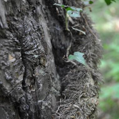 o znów to drzewo