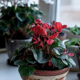 Rośliny kwitnące zimą – pielęgnacja