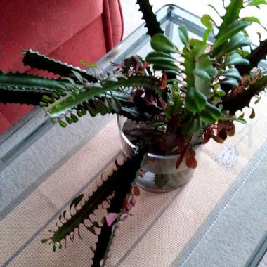 Musiałam obciąć kaktusa, szkoda mi było wyrzucić, trochę postoi w wazonie...