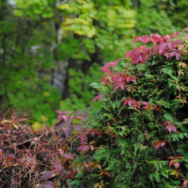 Winobluszcz wybarwiony i gubi liście jak szalony