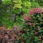 Pozostałe, .....a lasek rudzieje - Winobluszcz wybarwiony i gubi liście jak szalony