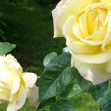 ...................i róże..............