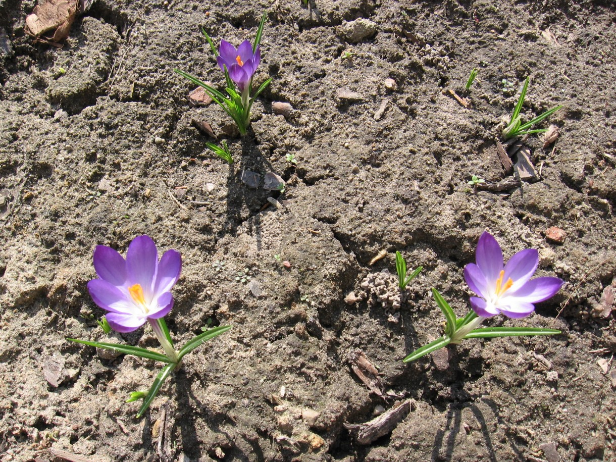 """Rośliny, Przedwiośnie - Crocus, grupa: chrysanthus, """"Ruby Giant"""""""