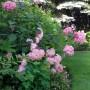 Ogród, Letnia:))) - Hortensje pod świerkami mocno w tym roku ucierpiały od mrozu i ...kicha:)