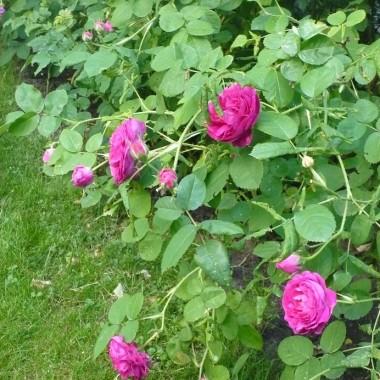 ................i róże na krzaku..................