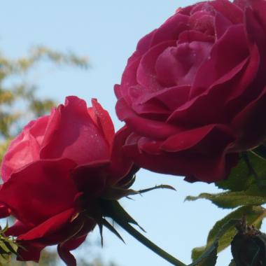 .................i róże.............