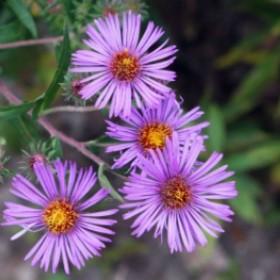 Kwiaty jesieni: Jak pielegnować astry w ogrodzie i na tarasie?