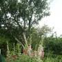 Rośliny, Lipcowe....................malwy.............