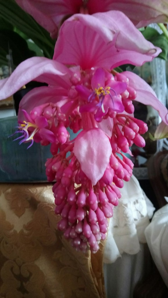 Rośliny, Czerwcowe róże ................. - ...............i medinilla .......zdecydowanie ciepłolubna roślina ................