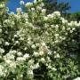 Rośliny, Czerwcowe róże ................. - .............i jaśmin ..............z motylkami.............