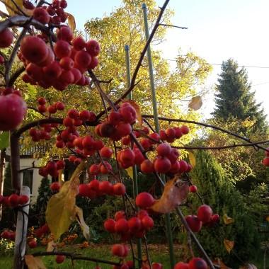 ...........i rajskie jabłuszka w ogrodzie ..............będą dla ptaszków .............