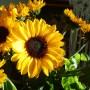 Rośliny, Wrześniowe fotki.................... - .................i słoneczniki................