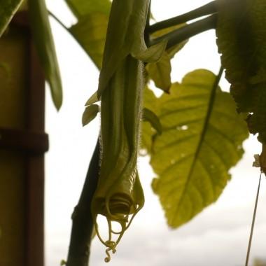 ............i moja datura na balkonie , cała w pąkach...............
