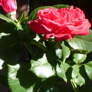 ..................i róża..................