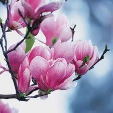 magnolie...magnolie...