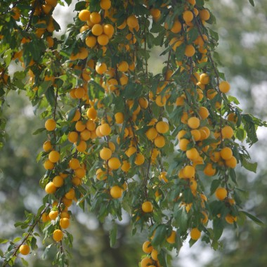 W tym roku zaskoczyło nas małe drzewko mirabelek , którego gałęzie uginały się od owoców. Szybko zaczęłam szukać w internecie przepisów i będzie dżemik i naleweczka.