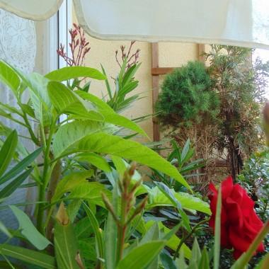 ................i oleander zaczyna kwitnąć ..................