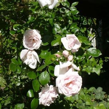 ..................i pnąca róża w pełni kwitnienia.................