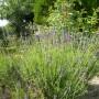 Pozostałe, Foto pstryki....cz.I - oto moja lawendowa plantacja