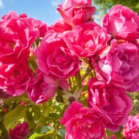Dlaczego kwiaty nie pachną jak dawniej?