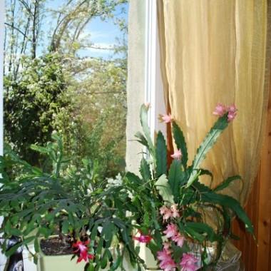 Z lewej kaktus bożonarodzeniowy, a z prawej Epifyllum. Tak sobie w duecie kwitną :)
