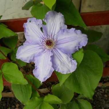 Clematis - zmarniały mi na jesień, ale cieszę się, że żyją i... kwitną