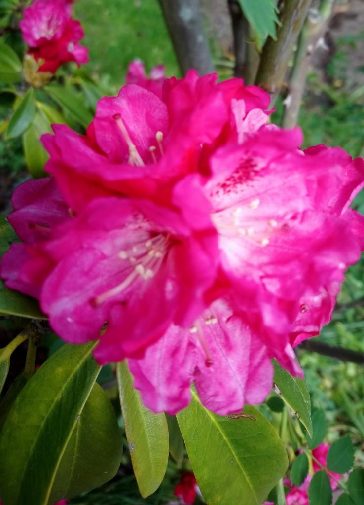 Rośliny, Majowe radości................... - ................i różowy rododendron.................