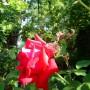 Rośliny, Czerwcowe róże ................. - ...............i róża...............