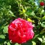 Rośliny, Czerwcowe róże ................. - ...............i róża czerwona................