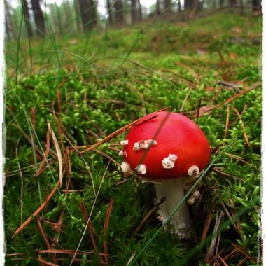 Grzybobranie i poezja lasu &#x3B;