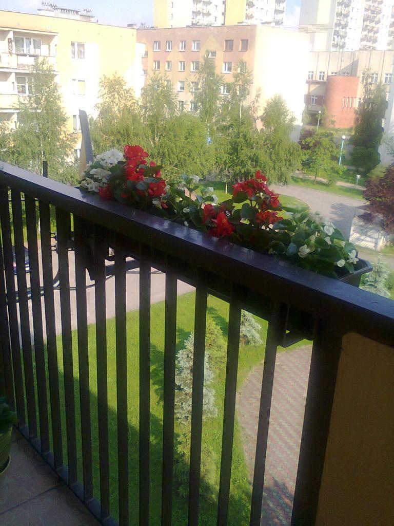 Pozostałe, balkon - Jeszcze małe begonie drobno kwitnące.