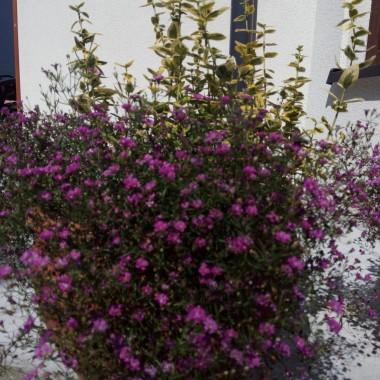 Podziwiam Wasze ogrody i ogródki, drogie  DECCORIANKI...i ten PODZIW jest przez duże P...nie mam śmiałości pokazywać mojego ogródka, bo to jeszcze jestestwo pomiędzy placem budowy a oswajaną łączką gdzieniegdzie...ale kwiaty są...z każdym wiąże się jakaś historia...lub...jakaś osoba...zatem popatrzcie też na moje kwiatki...w opiekę nad każdym włożyłam cząstkę mojego czasu, więc kiedy więdną, schną lub gniją- reanimuję...w tym zestawie nie ma moich drzewek podarowanych wiejskiemu przydrożu ( kiedyś pokażę)...oglądajcie...co ja piszę??? podziwiajcie!!!  dzisiaj dla wszystkich Życzliwych terapia kwiatowa...terapia roślinna...pozdrawiam...