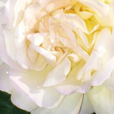 ...................i róża............