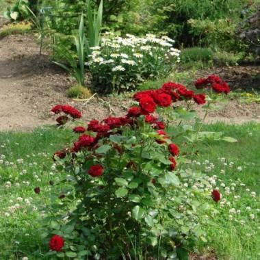 tradycyjne czerwone róże...
