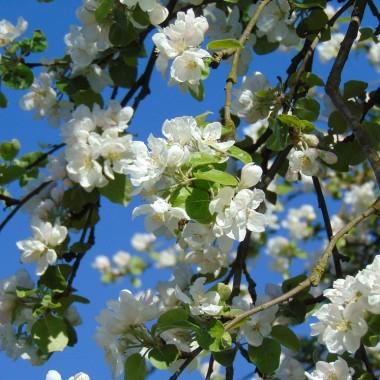 ................i kwiaty jabłoni..........