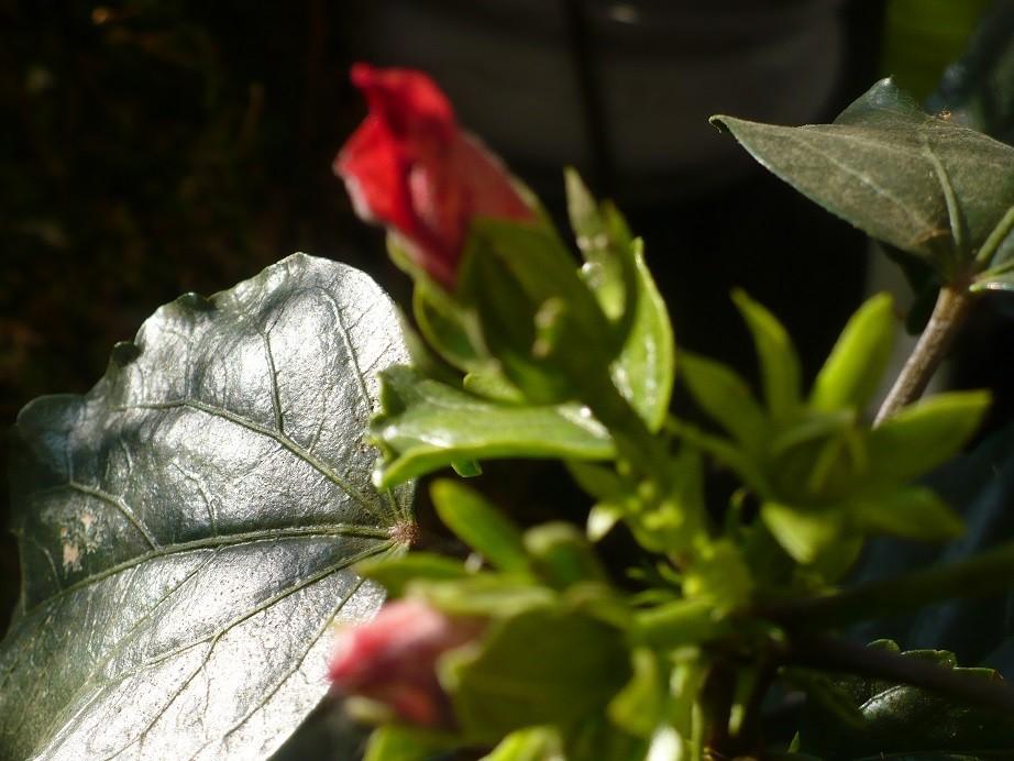 Pozostałe, Listopadowe małe radości................ - ..............i hibiskus na balkonie...............