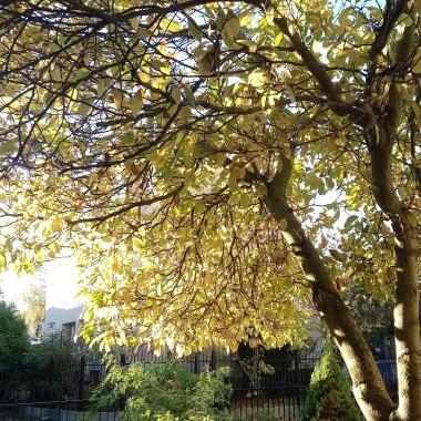 ...........i magnolia ..............