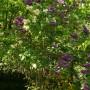 Ogród, Bez, bzy - to dwa drzewiaste bzy