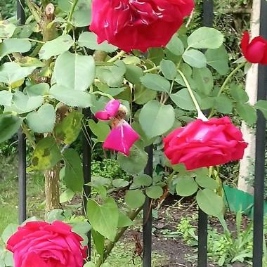 ..................i róże.................
