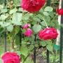 Rośliny, Rajskie jabłuszka .........i....... angielskie róże............. - ..................i róże.................