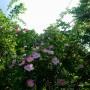 Rośliny, Czerwcowe róże ................. - ................i dzika róża.................