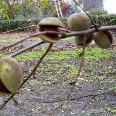 Migdały,ostatni dzień na drzewie-wrzesień