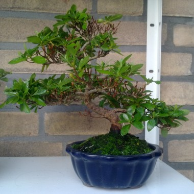 Mazelkowe bonsai i inne...