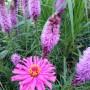 Rośliny, Wspomnienie lata - Cynia w towarzystwie