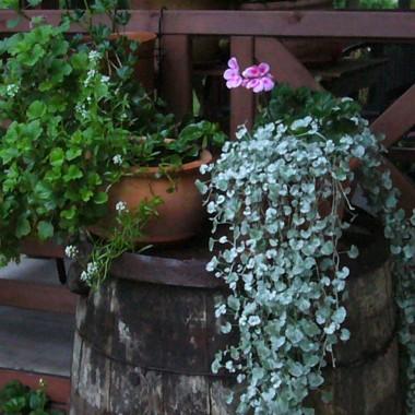 rośliny doniczkowe na starej beczce