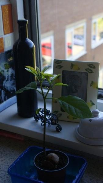 Rośliny, Hodowla Avocado - 20 wrzesien