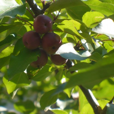..............i jabłuszka rosną.................