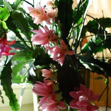 na pierwszym planie Epifyllum, a z lewej strony kawałeczek kaktusa bożonarodzeniowego (zygokaktus)