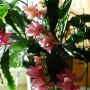 Rośliny, Epifyllum - na pierwszym planie Epifyllum, a z lewej strony kawałeczek kaktusa bożonarodzeniowego (zygokaktus)