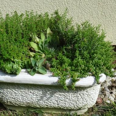 Rozchodniki i zioła świetnie się dogadują w moim starym ogrodowym zlewie:)